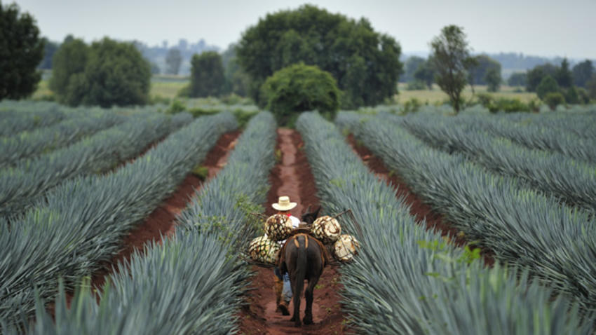 Agave Fields Stop at Jose Cuervo Express
